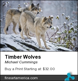 Timber Wolves by Michael Cummings - Photograph - Photograph