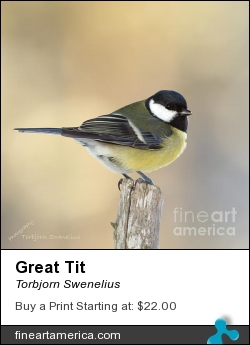 Great Tit by Torbjorn Swenelius - Photograph - Photography