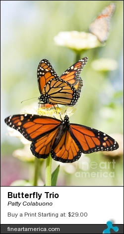 Butterfly Trio by Patty Colabuono - Photograph - Photography