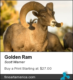 Golden Ram by Scott Warner - Photograph - Photo