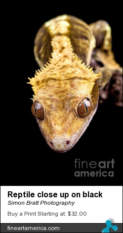 Reptile Close Up On Black by Simon Bratt Photography - Photograph - Photoimage