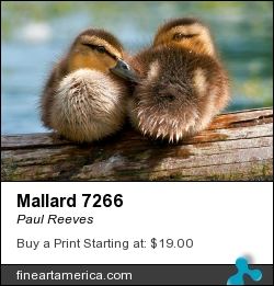 Mallard 7266 by Paul Reeves - Photograph