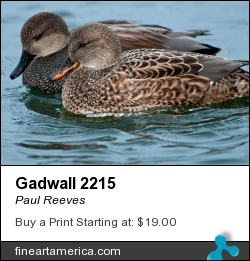 Gadwall 2215 by Paul Reeves - Photograph
