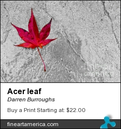 Acer Leaf by Darren Burroughs - Photograph - Photography