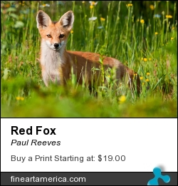 Red Fox by Paul Reeves - Photograph