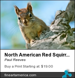 North American Red Squirrel by Paul Reeves - Photograph