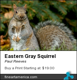 Eastern Gray Squirrel by Paul Reeves - Photograph