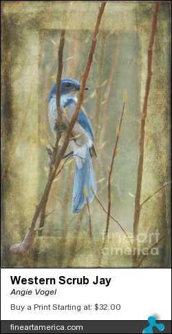 Western Scrub Jay by Angie Vogel - Photograph - Photography / Digital Art