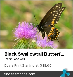 Black Swallowtail Butterfly by Paul Reeves - Photograph