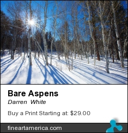 Bare Aspens by Darren  White - Photograph - Digital Photography