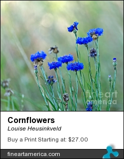 Cornflowers by Louise Heusinkveld - Photograph - Photograph