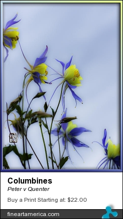 Columbines by Peter v Quenter - Photograph - Photography
