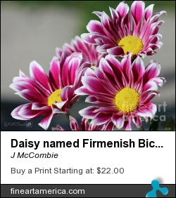 Daisy Named Firmenish Bicolor Purple by J McCombie - Photograph