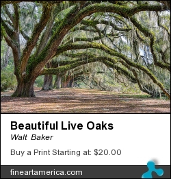 Beautiful Live Oaks by Walt  Baker - Photograph