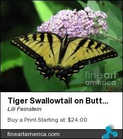 Tiger Swallowtail On Butterfly Bush by Lili Feinstein - Photograph - Photographic Print