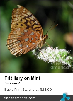 Fritillary On Mint by Lili Feinstein - Photograph - Photographic Print