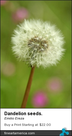 Dandelion Seeds. by Emilio Ereza - Photograph - Photographs