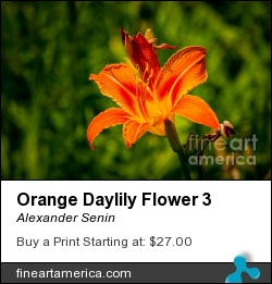 Orange Daylily Flower 3 by Alexander Senin - Photograph