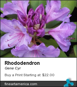 Rhododendron by Gene Cyr - Photograph - Photos