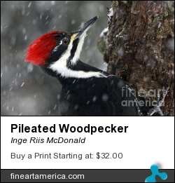 Pileated Woodpecker by Inge Riis McDonald - Photograph - Photography