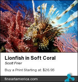 Lionfish In Soft Coral by Scott Frier - Photograph - Original Print