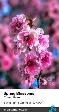 Spring Blossoms by Robert Bales - Photograph - Photo